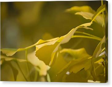 Canvas Print featuring the photograph Ginko 2 by Lisa Missenda