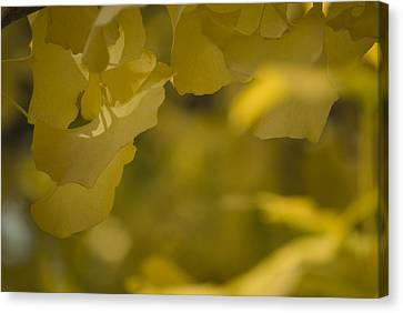 Canvas Print featuring the photograph Ginko 3 by Lisa Missenda