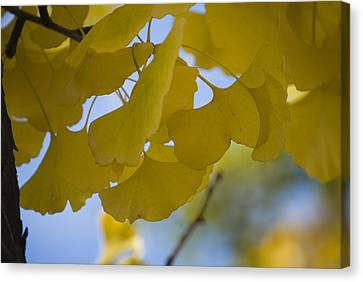 Canvas Print featuring the photograph Ginko 5 by Lisa Missenda