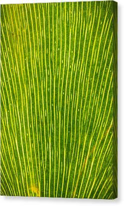 Ginko Tree Leaf Canvas Print by Steve Gadomski