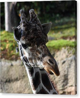 Canvas Print featuring the photograph Giraffe - 0001 by S and S Photo