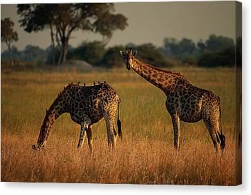 Giraffes Graze On The African Plain Canvas Print by Beverly Joubert