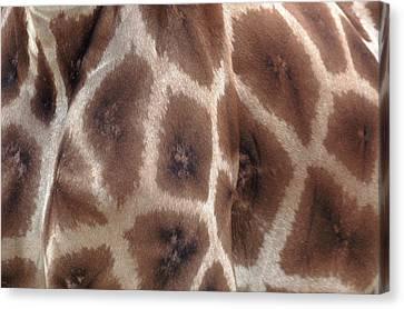 Giraffe's Hide Canvas Print by John Foxx