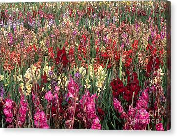 Gladioli Garden In Early Fall Canvas Print by Yva Momatiuk and John Eastcott and Photo Researchers