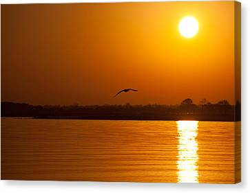Glides Into Evening Canvas Print by Karol Livote