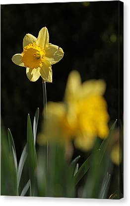Glorious Daffodil Canvas Print by Juergen Roth