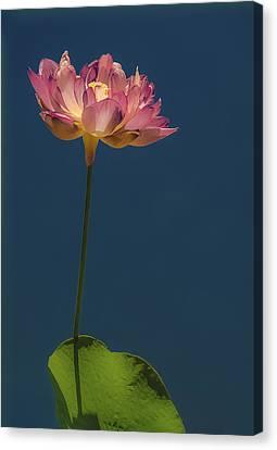 Glowing Lotus Canvas Print by Jill Balsam