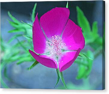 Glowing Poppy Canvas Print by Becky Lodes