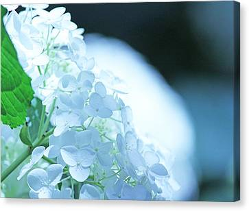 Glowing White Hydrangea Canvas Print by Becky Lodes