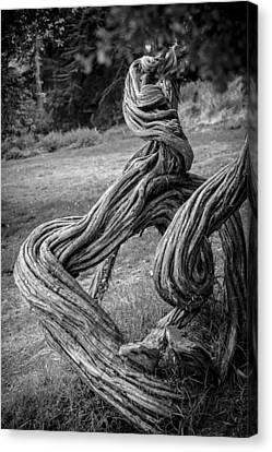 Tea Tree Canvas Print - Gnarled Tree by Anthony Citro