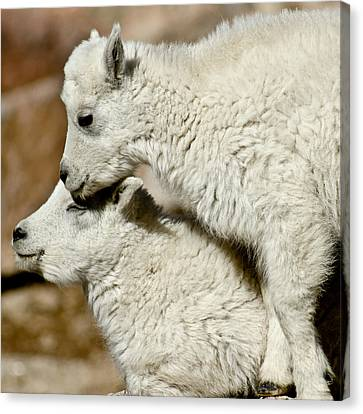 Goat Babies Canvas Print by Colleen Coccia