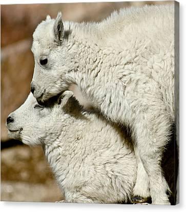 Goat Babies Canvas Print
