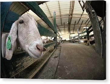 Goat Farming Canvas Print by Photostock-israel