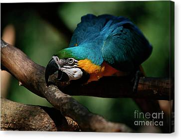 Gold And Blue Macaw Parrot Canvas Print