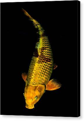 Gold Chagoi02 Canvas Print