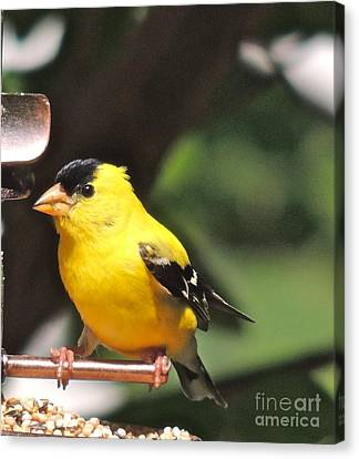 Canvas Print featuring the photograph Gold Finch by Eve Spring