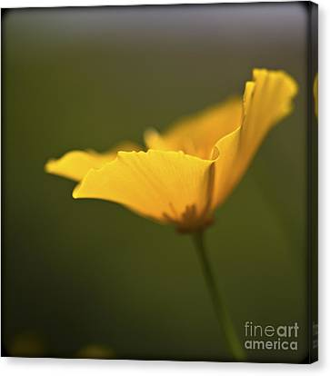 Golden Afternoon. Canvas Print