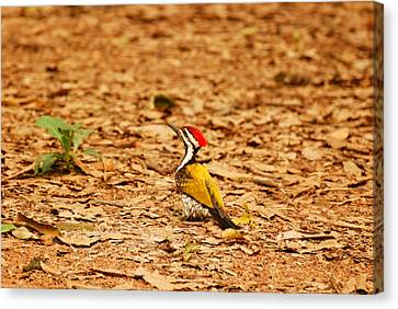 Canvas Print featuring the photograph Golden Backed Woodpecker by Fotosas Photography