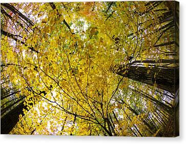 Golden Canopy Canvas Print by Rick Berk