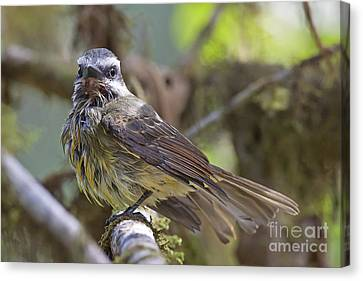 Golden--crowned Flycatcher Canvas Print