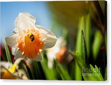 Dafs Canvas Print - Golden Daffodils  by Venura Herath
