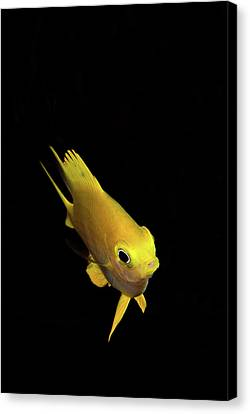 Golden Damsel Fish Canvas Print by Mat Yie Photography