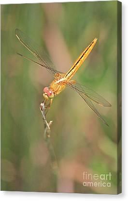 Golden Dragonfly In Green Marsh Canvas Print by Carol Groenen