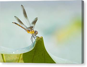 Golden Dragonfly On Water Lily Leaf Canvas Print by Bonnie Barry