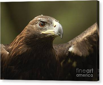 Canvas Print featuring the photograph Golden Eagle by Doug Herr