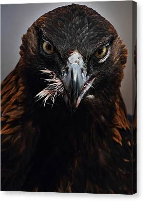 Golden Eagle Feeding Canvas Print by Pat Gaines