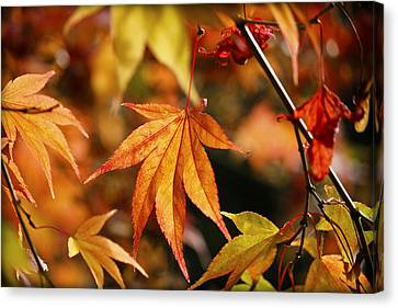 Canvas Print featuring the photograph Golden Fall. by Clare Bambers