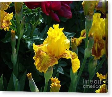 Golden Glory Canvas Print by Donna Parlow