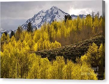 Golden Grand Teton Canvas Print by Johanne Peale