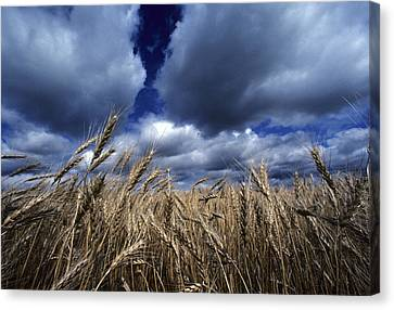 Golden Heads Of Wheat In A Field Canvas Print by Annie Griffiths