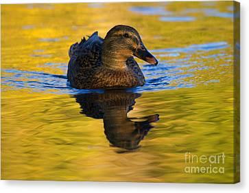 Mallard Duck Canvas Print - Golden Hen by Mike  Dawson