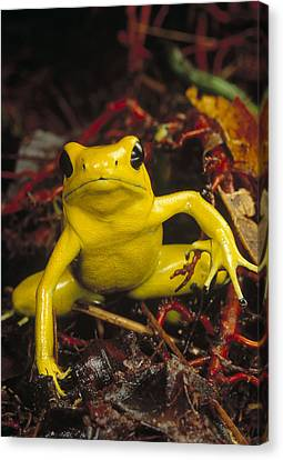 Golden Poison Dart Frog Phyllobates Canvas Print by Mark Moffett