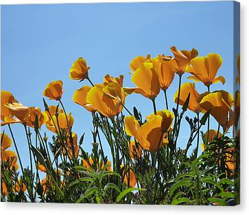 Canvas Print featuring the photograph Golden Poppies Basking In The Sun by Cindy Wright