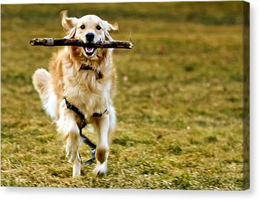 Golden Retrievers On Canvas Print - Golden Retreiver With Stick by Stephen O'Byrne