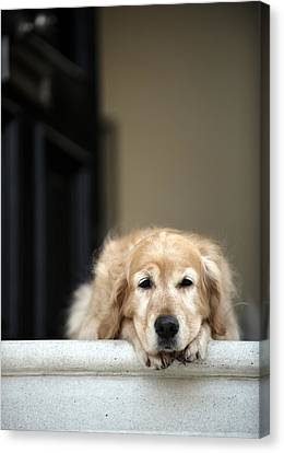 Golden Retriever Dog Lying In Front Door Of House, Looking Away (focus On Foreground) Canvas Print