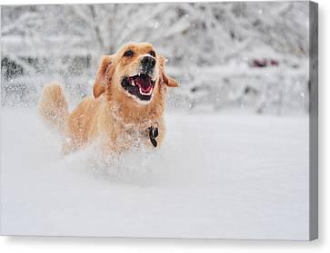 Golden Retriever Dog Running On Fresh Snow Canvas Print by Maya Karkalicheva