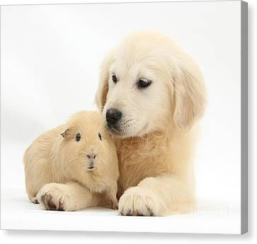 Golden Retriever Pup And Yellow Guinea Canvas Print by Mark Taylor
