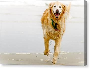 Golden Retriever Running On Beach Canvas Print by Stephen O'Byrne