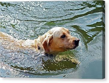 Golden Retriever Swimming Close Canvas Print by Susan Leggett