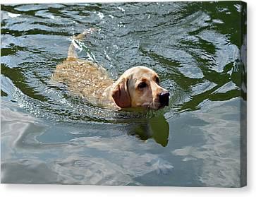 Golden Retriever Swimming Canvas Print by Susan Leggett