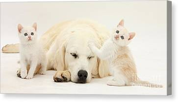 Golden Retriever With Two Kittens Canvas Print by Mark Taylor