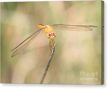 Golden-winged Dragonfly Canvas Print by Carol Groenen