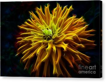 Golden Zinnia Glow Canvas Print by Darleen Stry