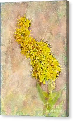 Goldenrod Canvas Print by Judi Bagwell