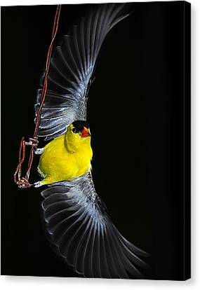 Canvas Print featuring the photograph Goldfinch High Wire Act by Randall Branham