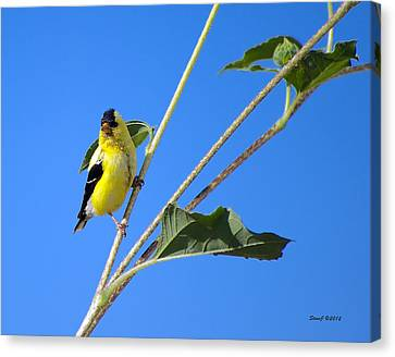Goldfinch On Sunflowers Canvas Print by Stephen  Johnson